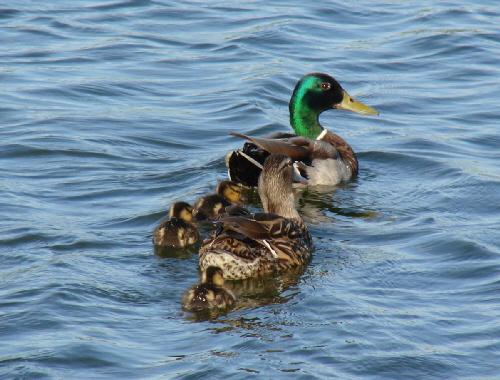マガモの親子が泳いでいる姿。両親と子供が3羽、仲良し家族かな?