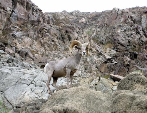 ビッグホーンは、哺乳綱偶蹄目ウシ科ヒツジ属に分類されるヒツジのこと。そのビッグホーンが岩場に立ち止まりこちらを見ている写真。岩の色と同化してさっと見ると見逃しそうです。大きな角が印象的。