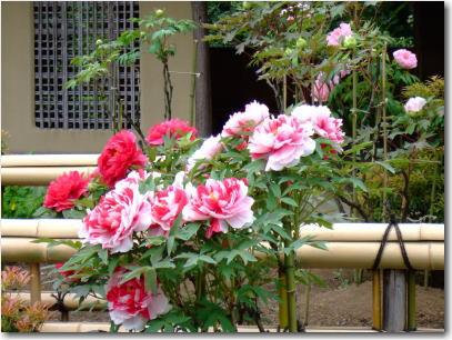 4月24日日本庭園のぼたん