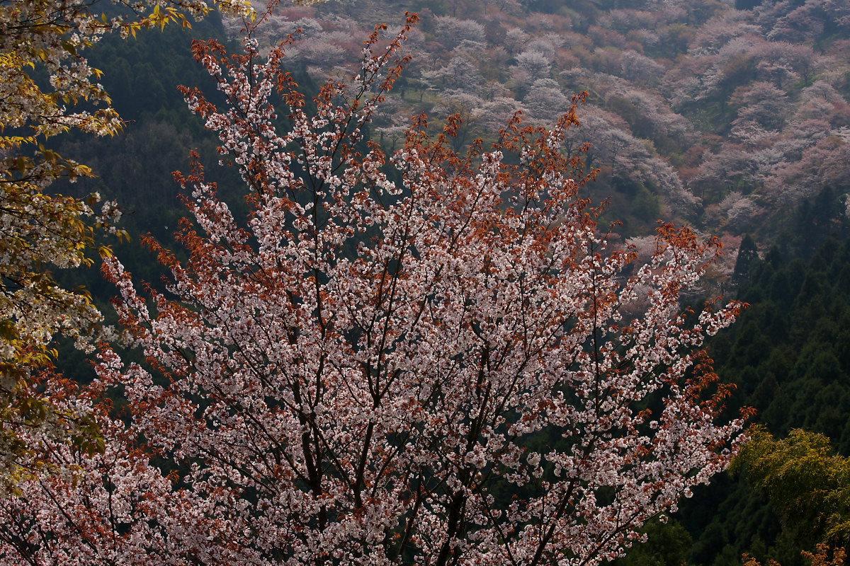 奈良 吉野桜 1_f0021869_1143475.jpg