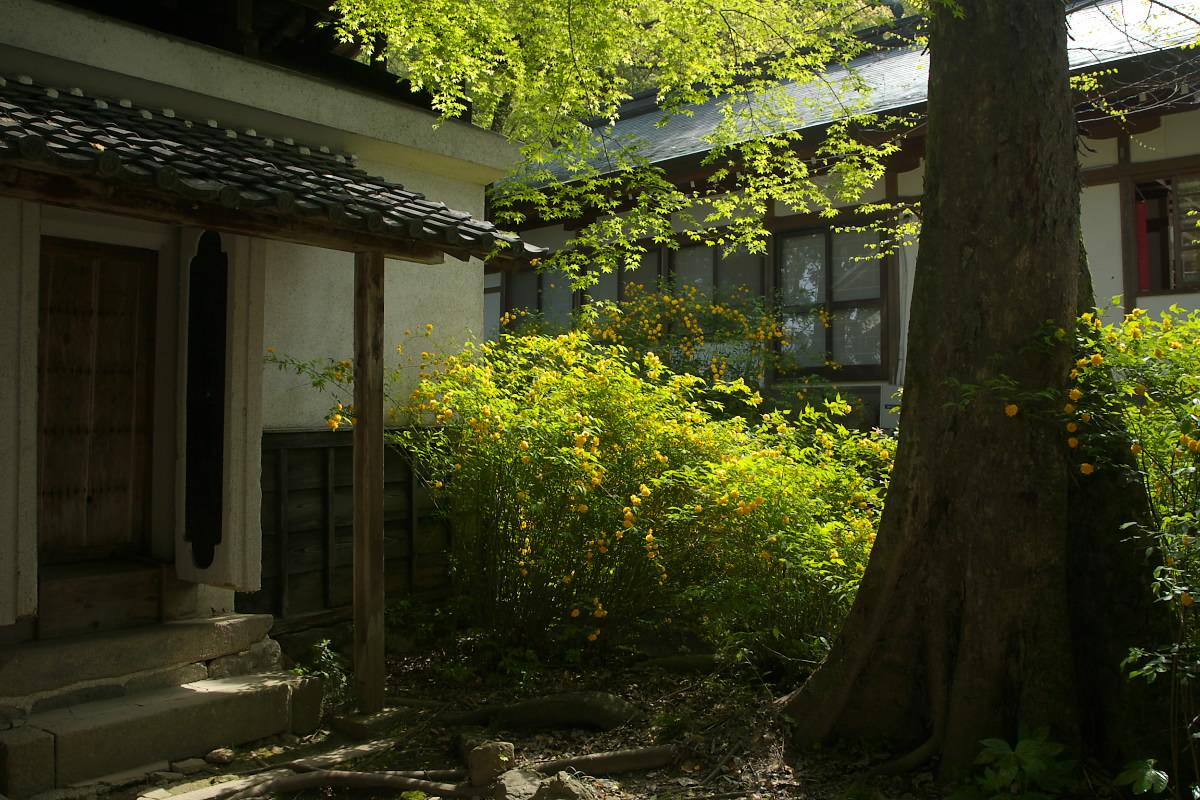 京都 松尾大社 山吹 2_f0021869_12422773.jpg