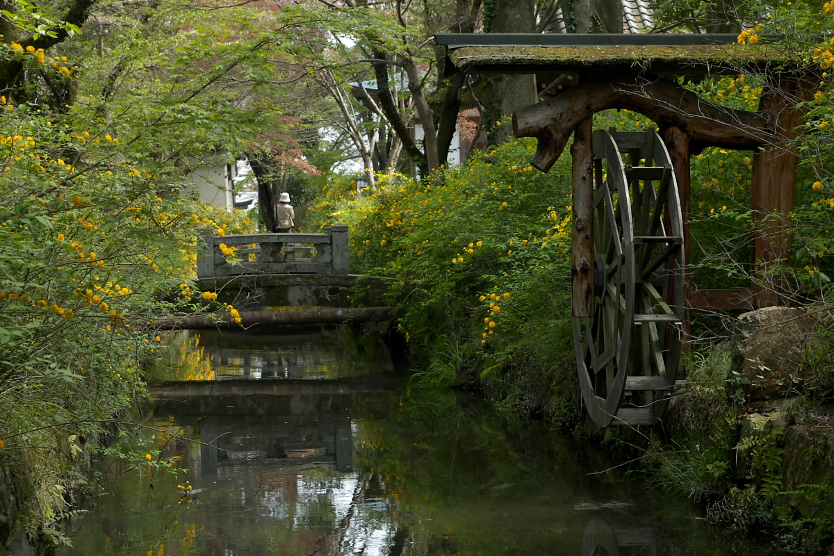 京都 松尾大社 山吹 2_f0021869_12432965.jpg