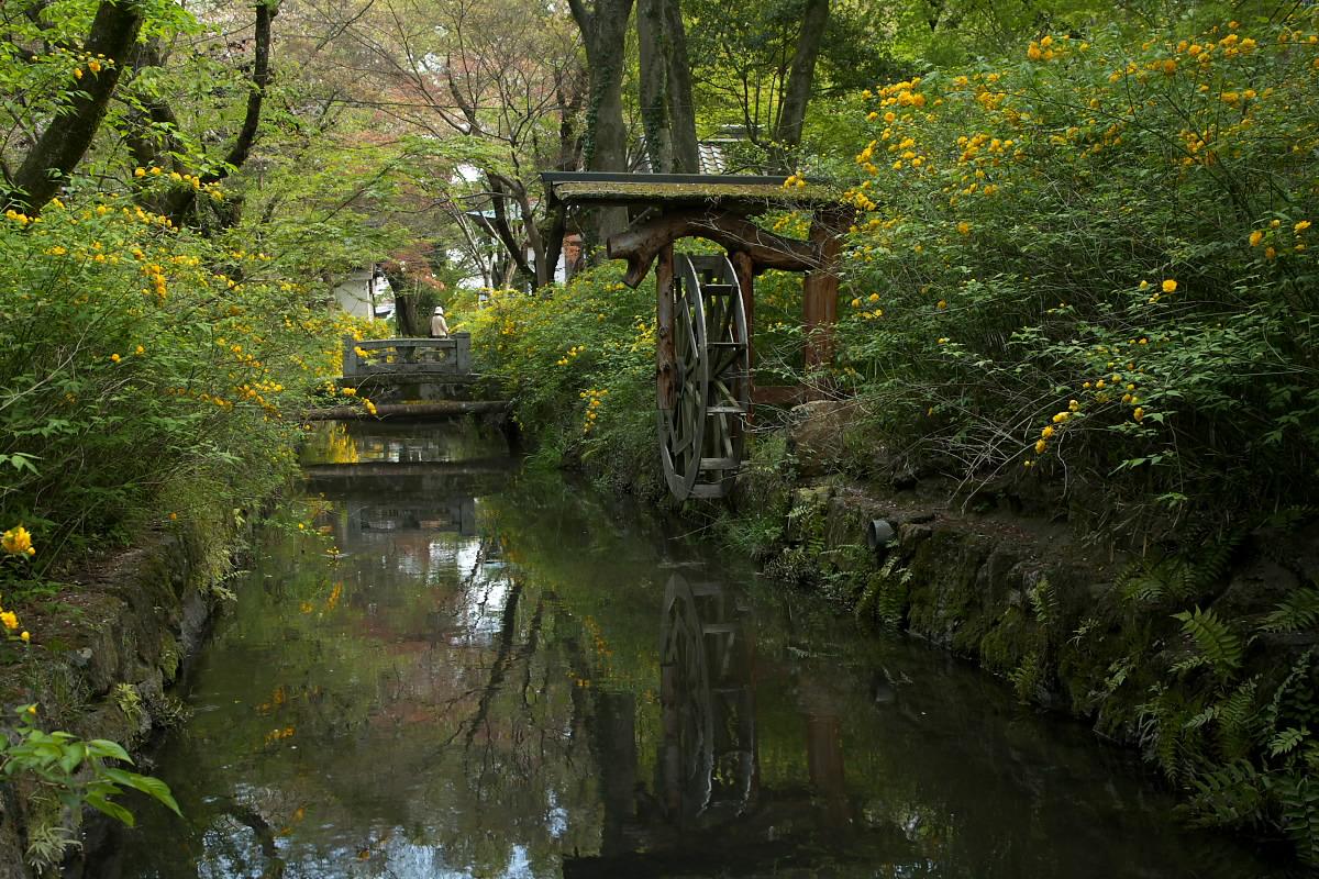 京都 松尾大社 山吹 2_f0021869_1243954.jpg