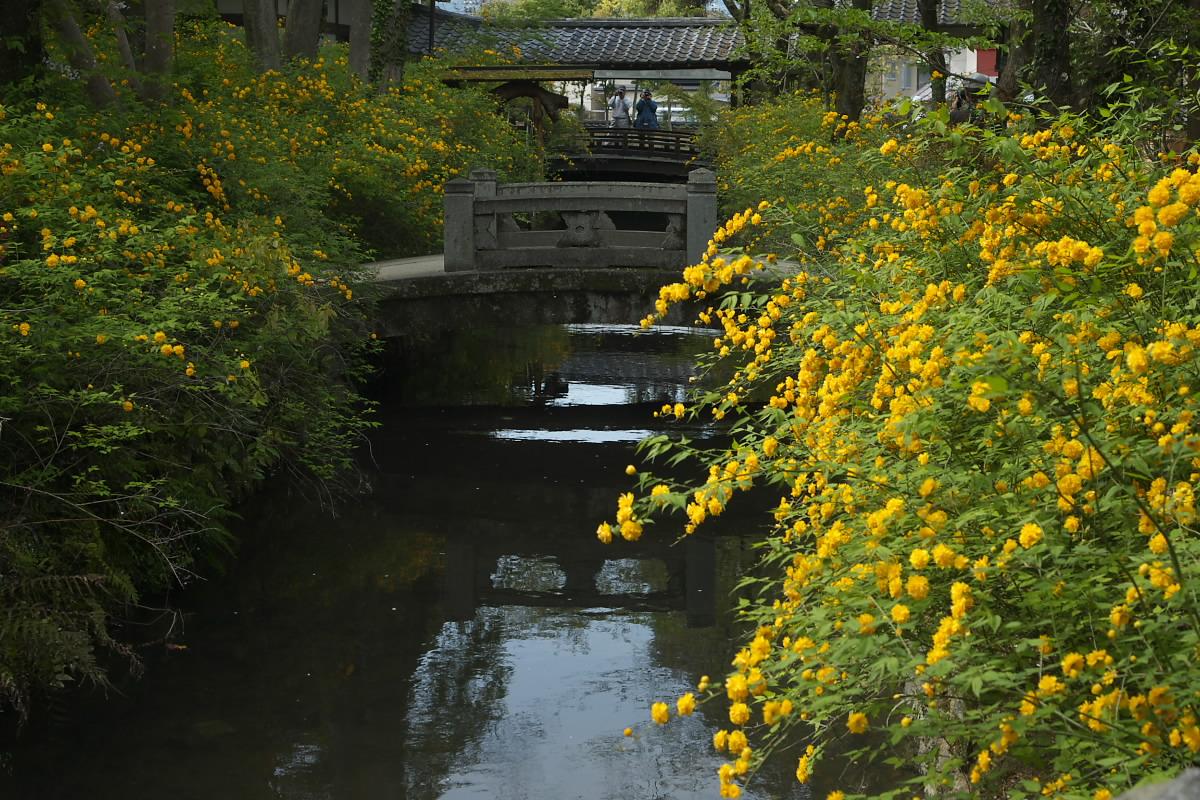 京都 松尾大社 山吹 2_f0021869_12442927.jpg