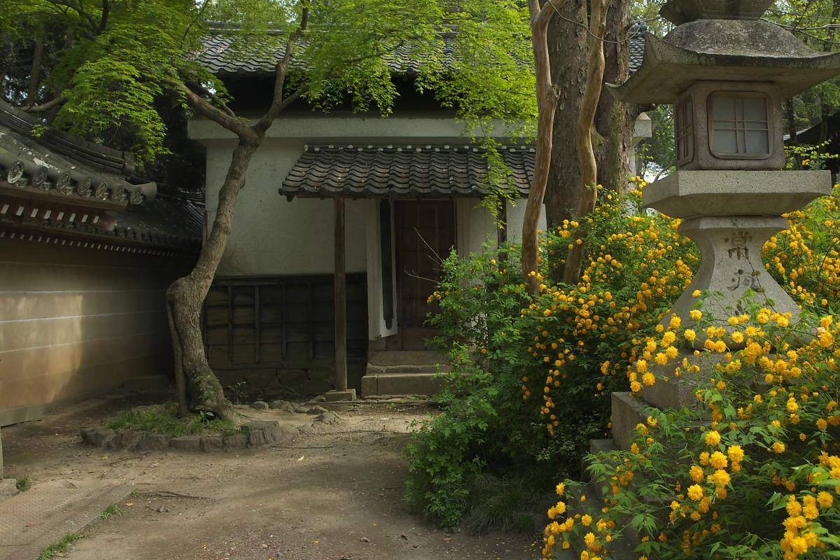 京都 松尾大社 山吹 2_f0021869_12445361.jpg