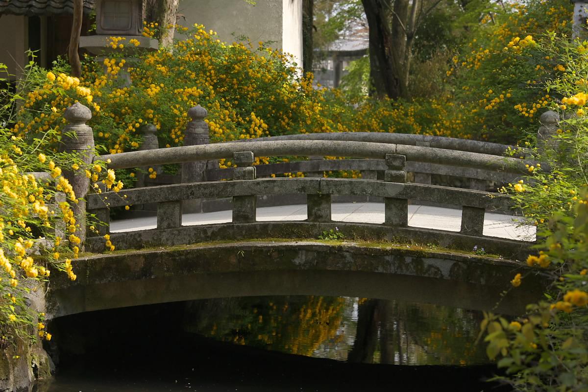 京都 松尾大社 山吹 2_f0021869_12462345.jpg