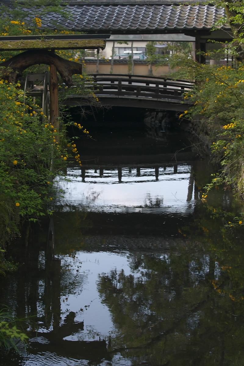 京都 松尾大社 山吹 2_f0021869_12491489.jpg
