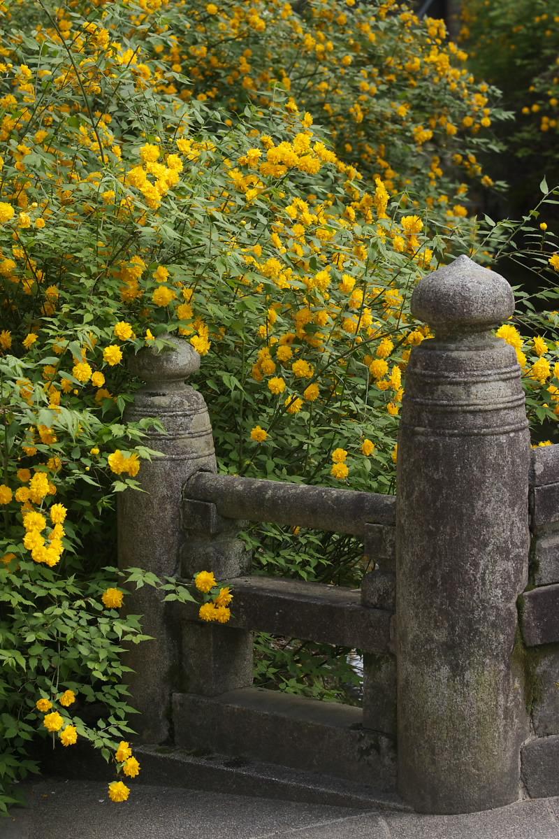 京都 松尾大社 山吹 2_f0021869_12502768.jpg