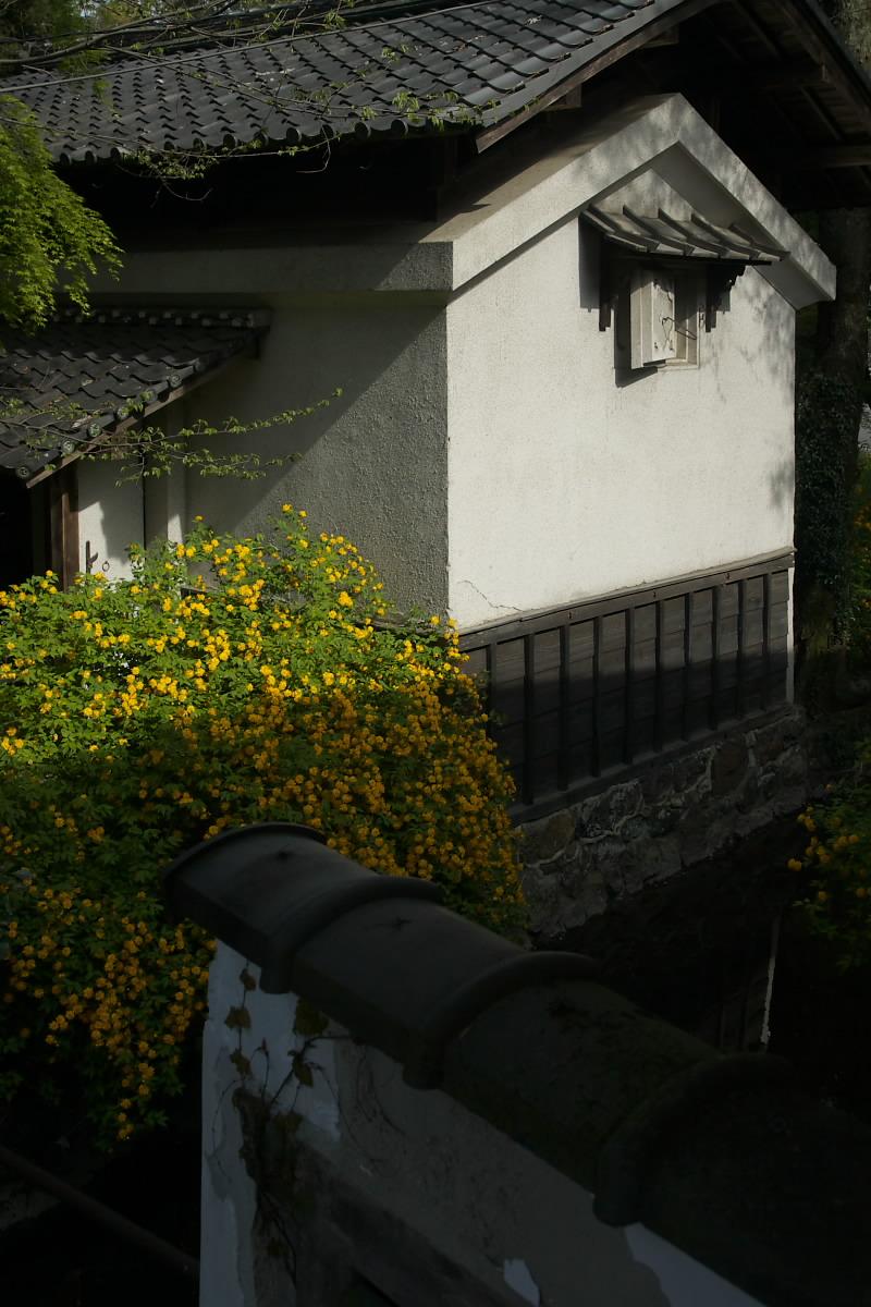 京都 松尾大社 山吹 2_f0021869_12512322.jpg