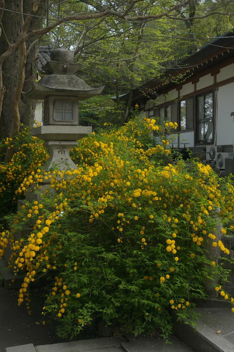 京都 松尾大社 山吹 2_f0021869_12552527.jpg