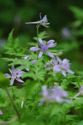優しいブルー系の草花たち_f0012718_1125515.jpg