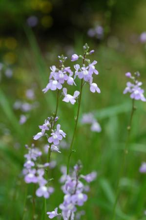 優しいブルー系の草花たち_f0012718_1154483.jpg