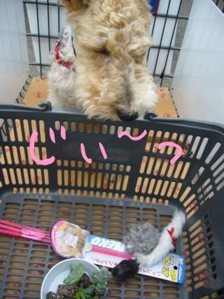 猫のおもちゃがすきな犬_c0070377_2057418.jpg