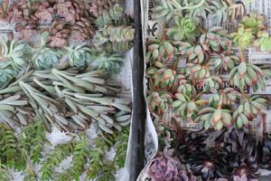 多肉植物_f0127281_19101386.jpg