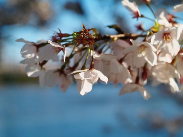 故郷の風景 高田公園の桜2_f0024992_9331336.jpg