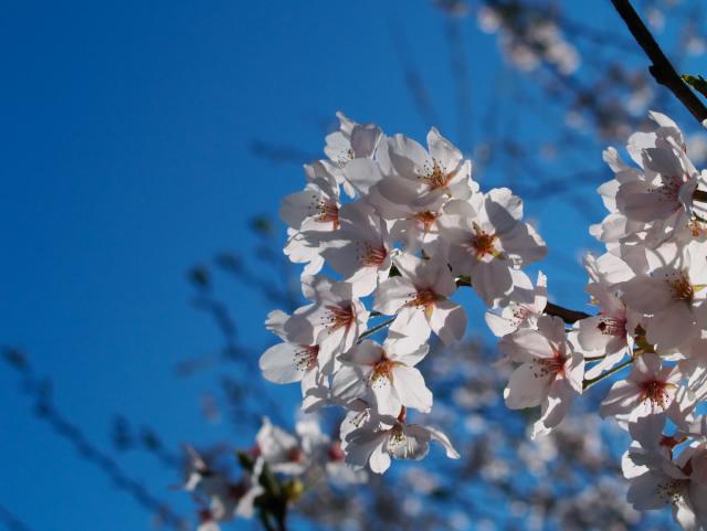 故郷の風景 高田公園の桜2_f0024992_9333132.jpg