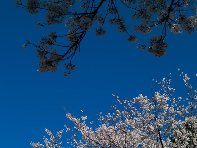 故郷の風景 高田公園の桜2_f0024992_9334592.jpg