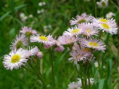 ハルジオン (春紫苑)_b0105897_13521735.jpg