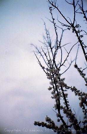 もう散っちゃった杏の花。_c0070460_9581818.jpg