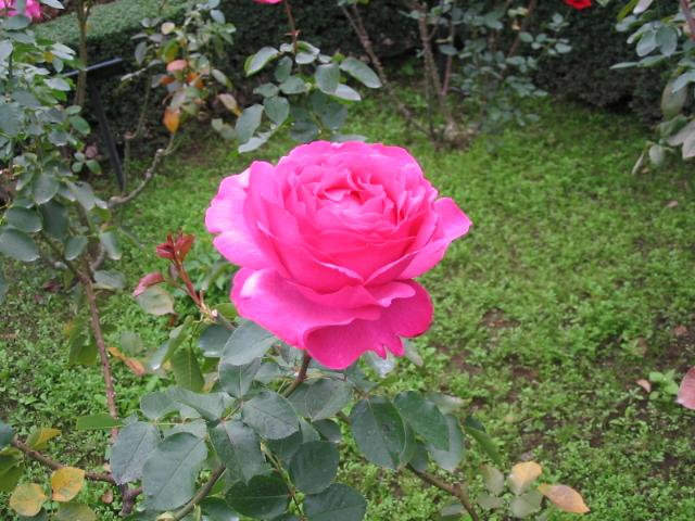 バラが咲きそう!_a0091095_20432928.jpg