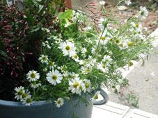 庭のハーブと花_d0110462_16374028.jpg
