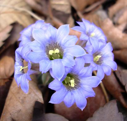 4月28日 赤城自然園 フデリンドウ_a0001354_22303714.jpg