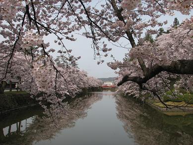 桜満開の松が岬公園の朝_c0075701_10574433.jpg