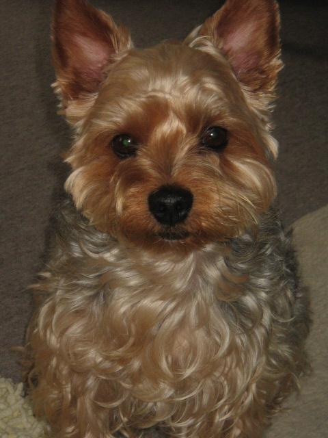 物欲しげな顔をしてじっと見つめる我が家の食い意地犬ラッキー。目が懇願しているような目つきになっています。