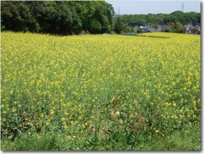 4月29日菜の花畑