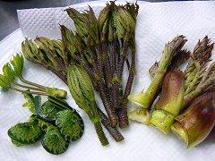 前菜は庭の山菜_f0019247_1428553.jpg