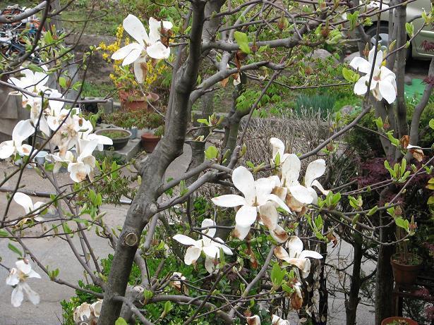 隣に咲く木蓮_c0075701_7125018.jpg