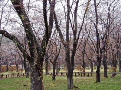蓼科湖畔・聖光寺・桜情報_d0102327_15541565.jpg