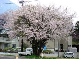 桜Ⅳ_b0083801_20114466.jpg