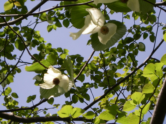 ハンカチの木の花が咲き出しました_d0116059_17143857.jpg