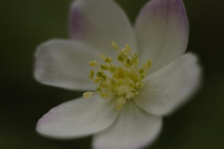 Spring Ephemeral 2 ニリンソウ_f0042194_20404934.jpg