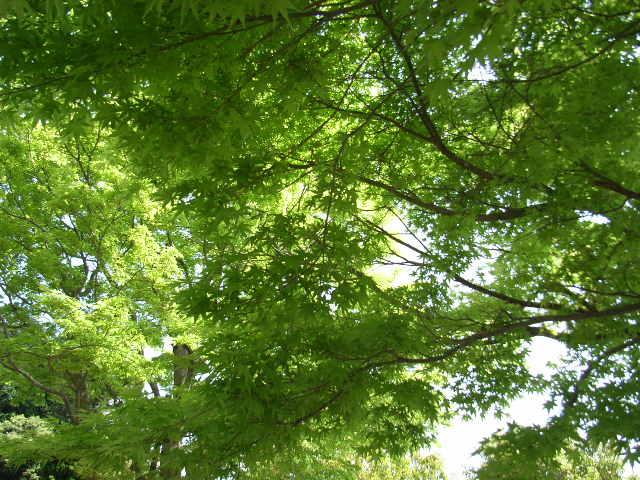 5月5日(土) 新緑もみじ_d0082944_22284925.jpg
