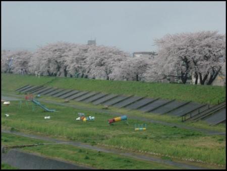 桜満開_c0119029_013973.jpg