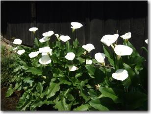 5月4日お鷹の道に咲くカラーの花