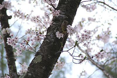 蓼科湖畔・聖光寺・桜情報(5)_d0102327_2320114.jpg