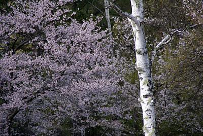 蓼科湖畔・聖光寺・桜情報(5)_d0102327_23244391.jpg