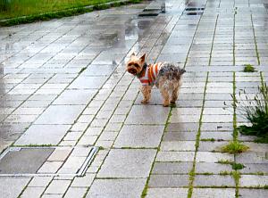 雨に濡れた石畳の上で立ち止まり、身体を横向き状態でこちらを振り返っているラッキー。雰囲気がすごーく嫌そうに見えます。