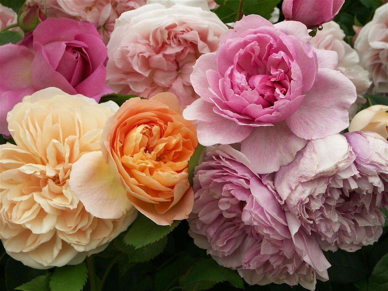 新しい薔薇の匂い……Lady Emma Hamilton。_e0044929_2322085.jpg