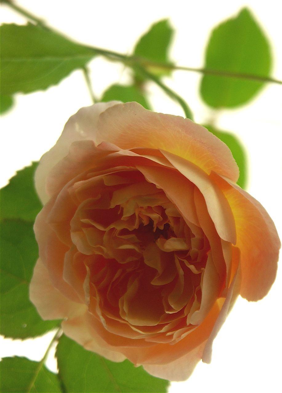 新しい薔薇の匂い……Lady Emma Hamilton。_e0044929_2371598.jpg