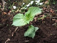 青じそ、ミニトマト、唐辛子、かぼちゃを植える。_c0110869_1681357.jpg