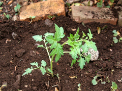 青じそ、ミニトマト、唐辛子、かぼちゃを植える。_c0110869_1682584.jpg