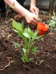 青じそ、ミニトマト、唐辛子、かぼちゃを植える。_c0110869_1683752.jpg