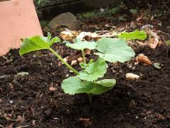 青じそ、ミニトマト、唐辛子、かぼちゃを植える。_c0110869_1684922.jpg