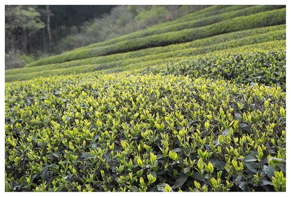蕎麦と新茶_c0042324_10433598.jpg
