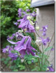 5月9日庭の花3