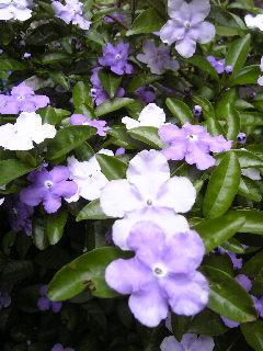 ニオイバンマツリの花♪_f0099147_17484243.jpg